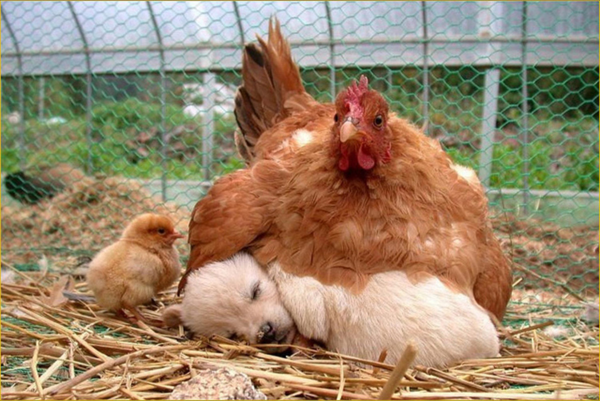 Affection for chickens makes most Golden Retrievers a great choice.
