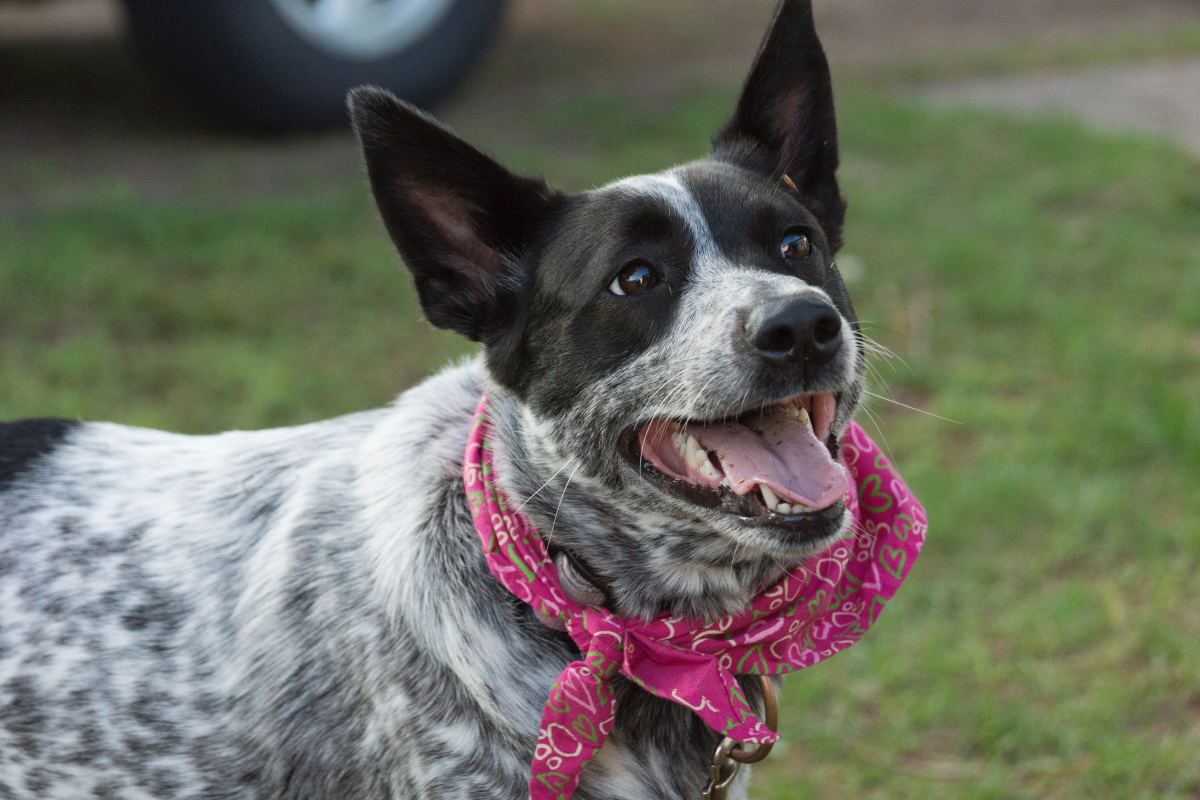 Blue Heelers often have more energy than a small farmer is willing to handle.