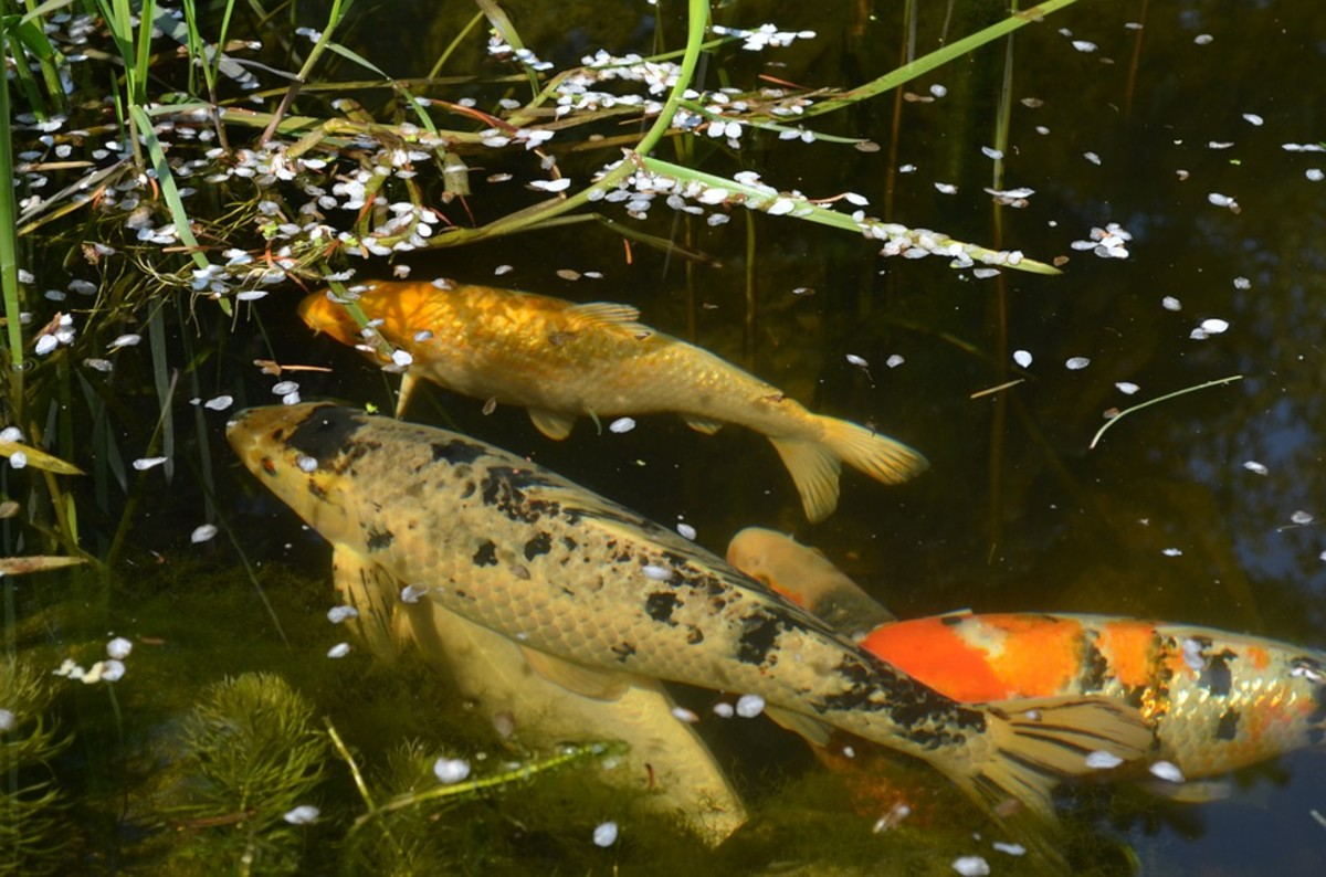 Koi that are overfed not only produce more waste, but also ignore food that ends up spoiling.