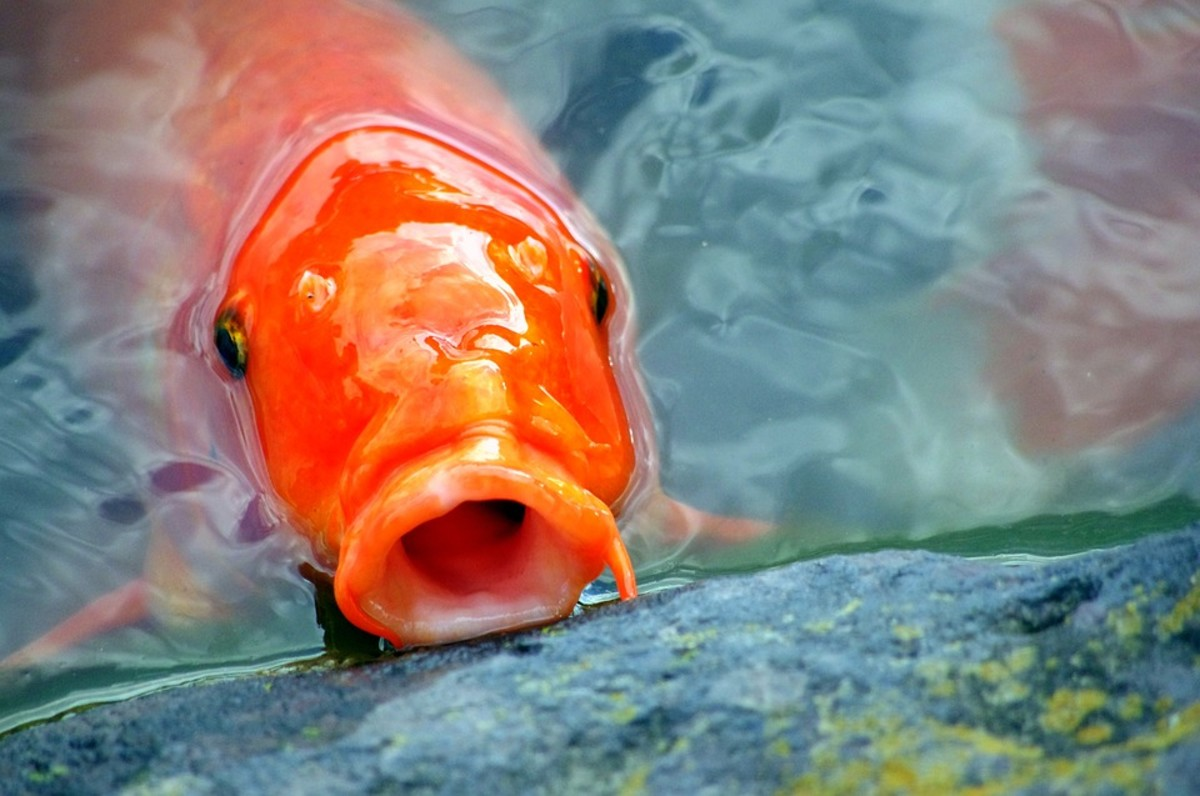 Koi learn to recognize their keepers and will wait for you at its feeding station when it's meal time.