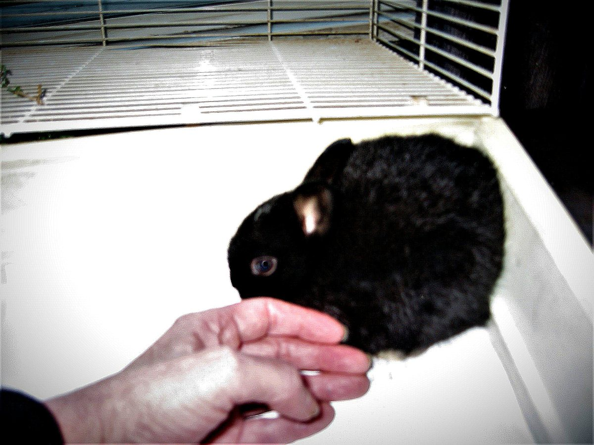 The newest addition to our rabbit family, Elvira, at two months of age.