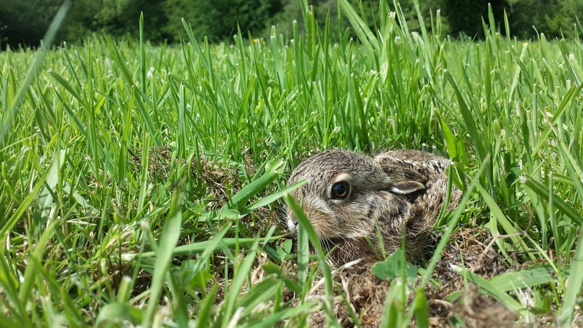 """This baby rabbit is showing fear by """"flattening."""" It is doing its best to hide."""