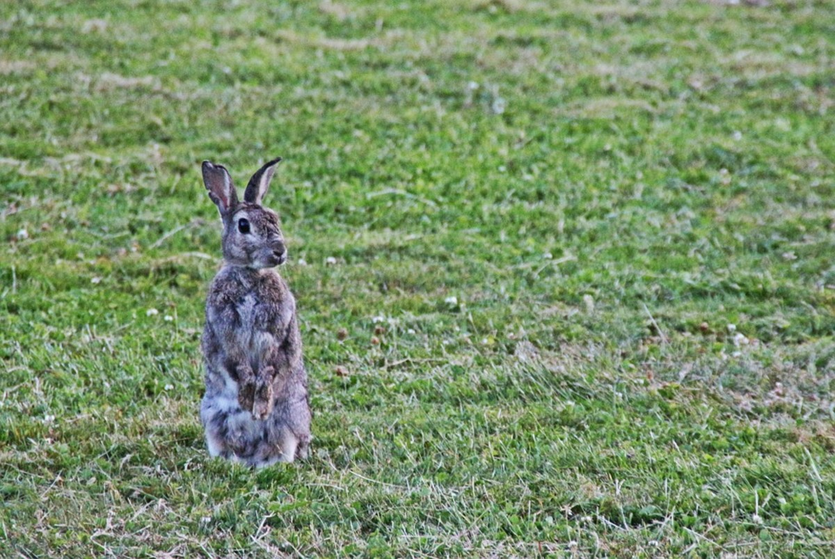 This wild rabbit is curious about something in the distance.