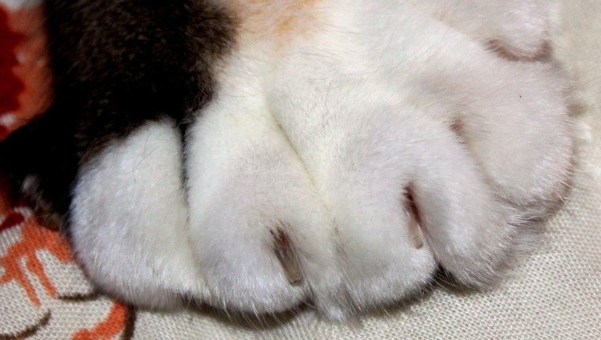 Closeup of a polydactyl's paw.