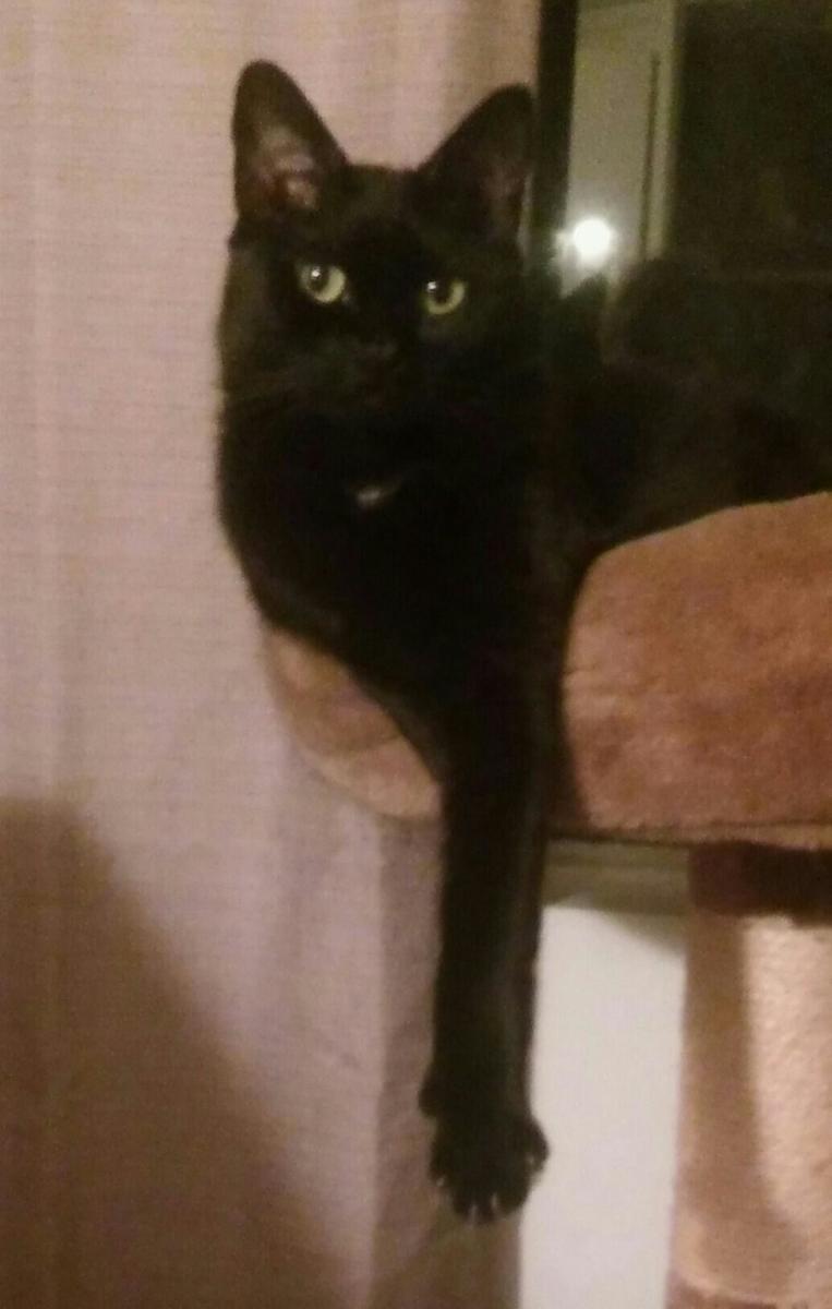 The author's polydactyl cat, Eboni.