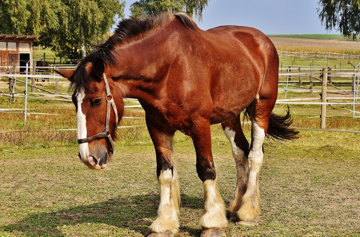 A beautiful horse with a complete set of stockings.