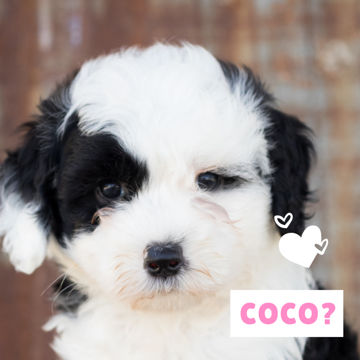Is your new puppy a Coco?