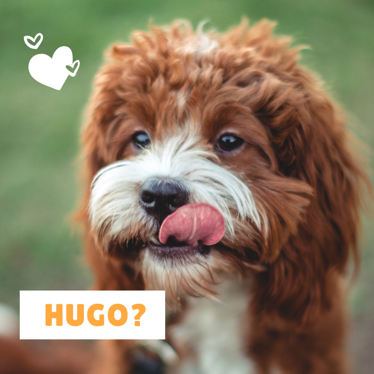 Could your new canine companion be a Hugo?