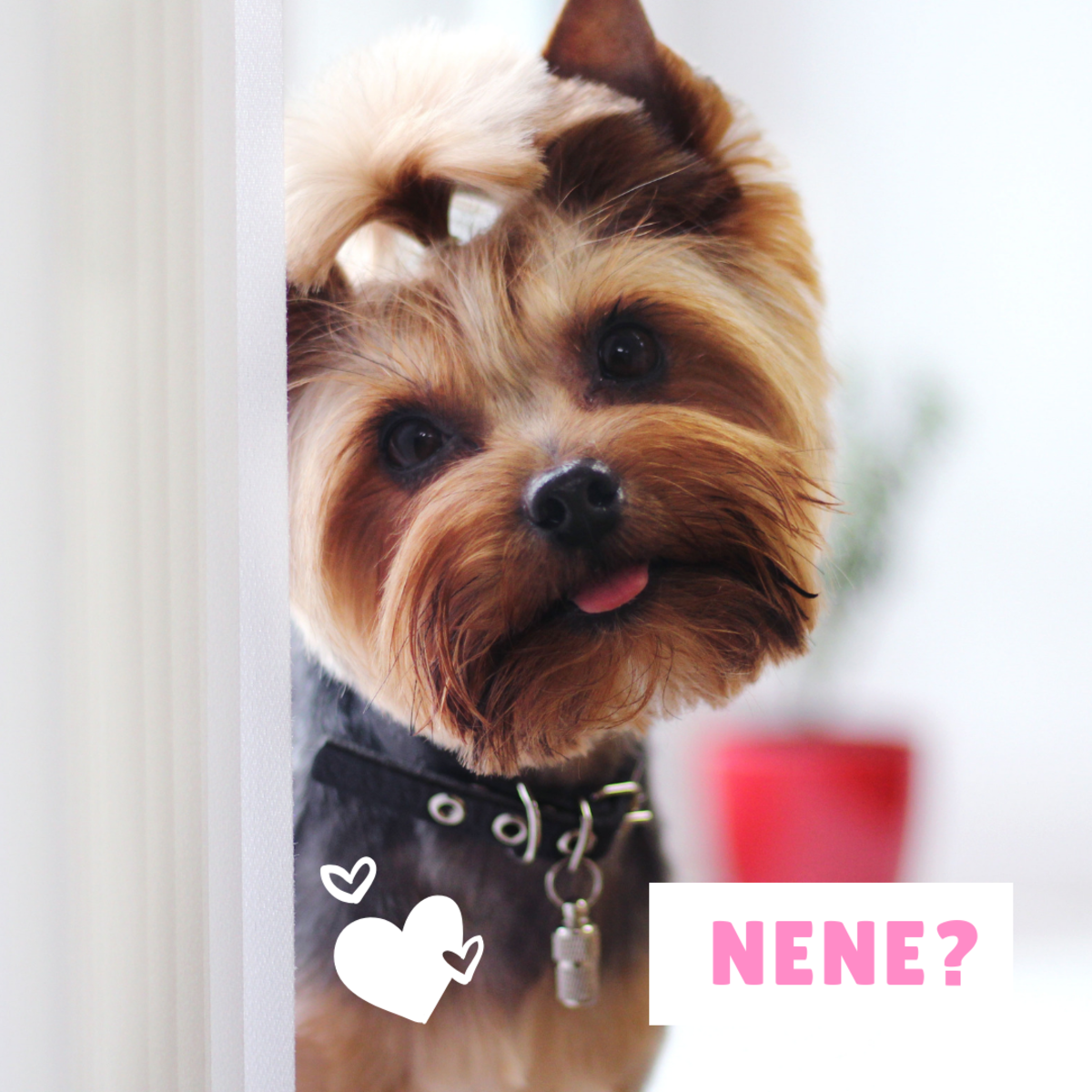 Is your adorable Yorkie a Nene?