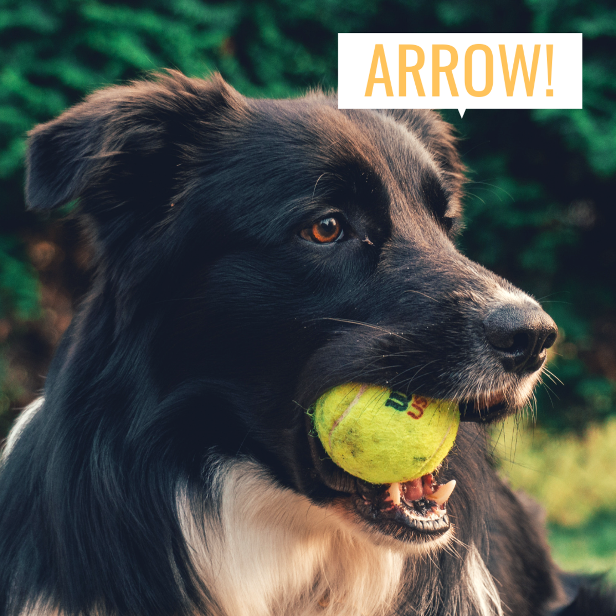 Arrow makes a great name for a Border Collie.