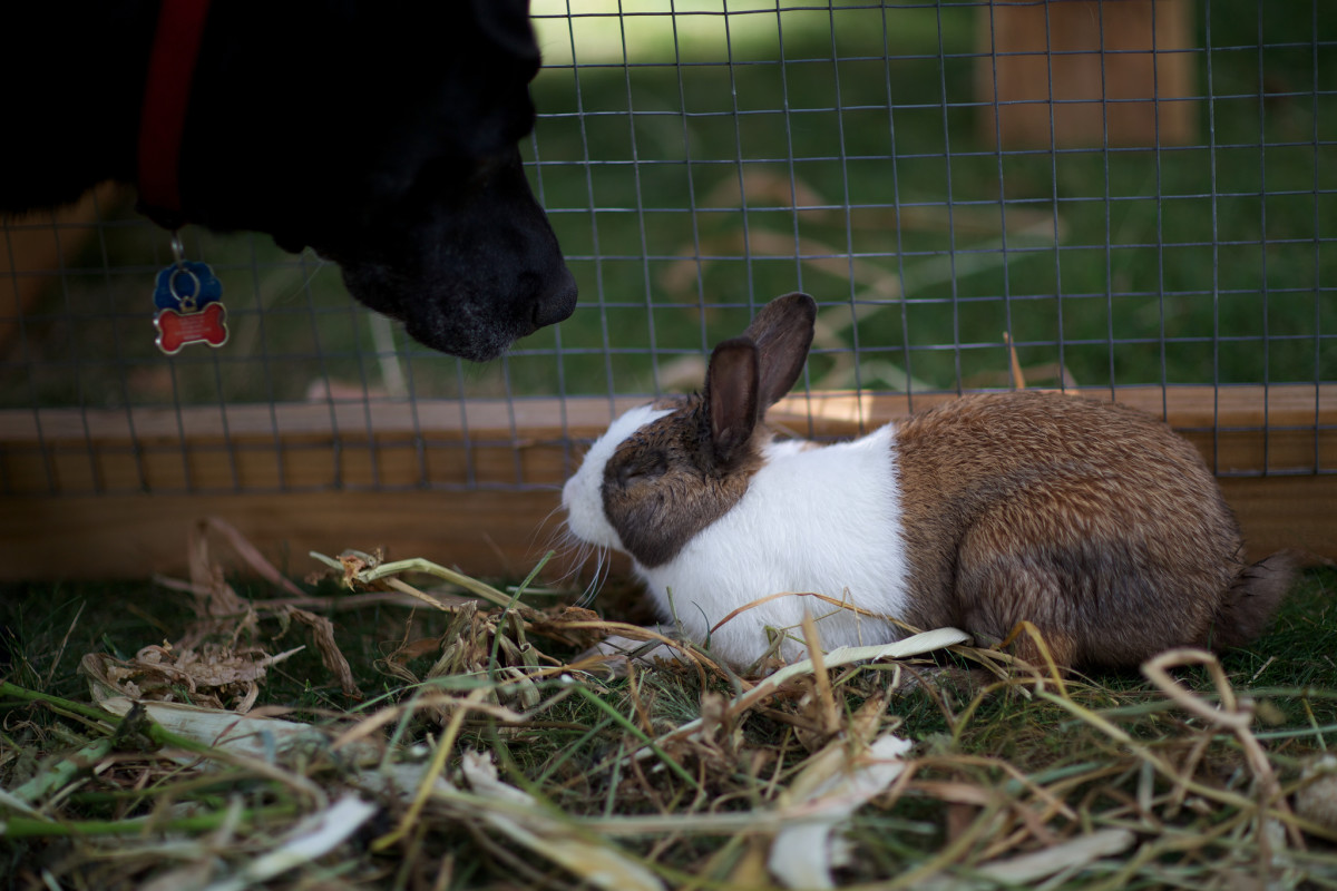 When your rabbit is around your dog, watch closely for signs of stress.