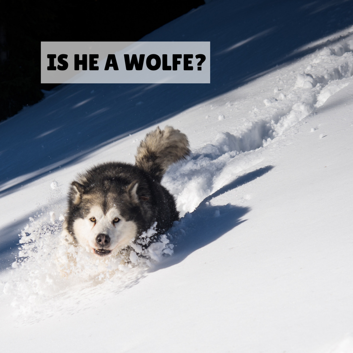"Is your male dog a ""Wolfe?"""
