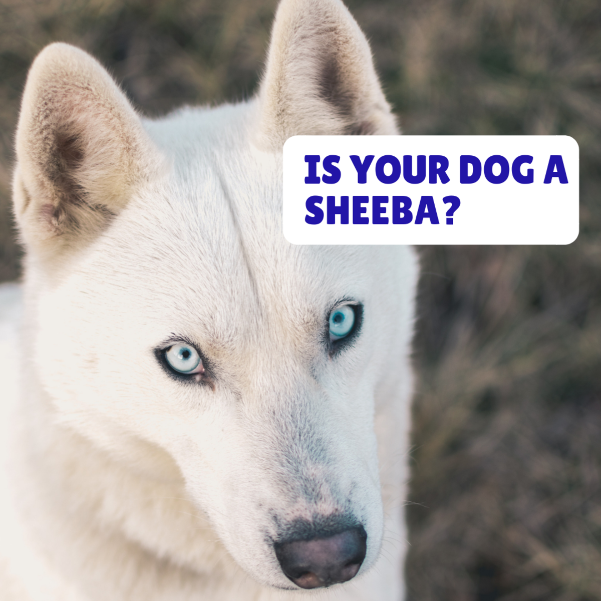 Is your girl dog a Sheba?