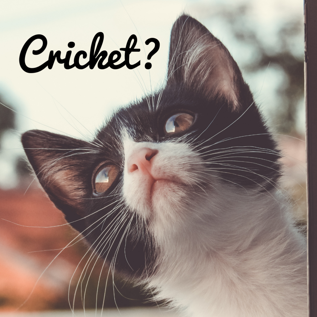 "Is your cat a ""Cricket?"""