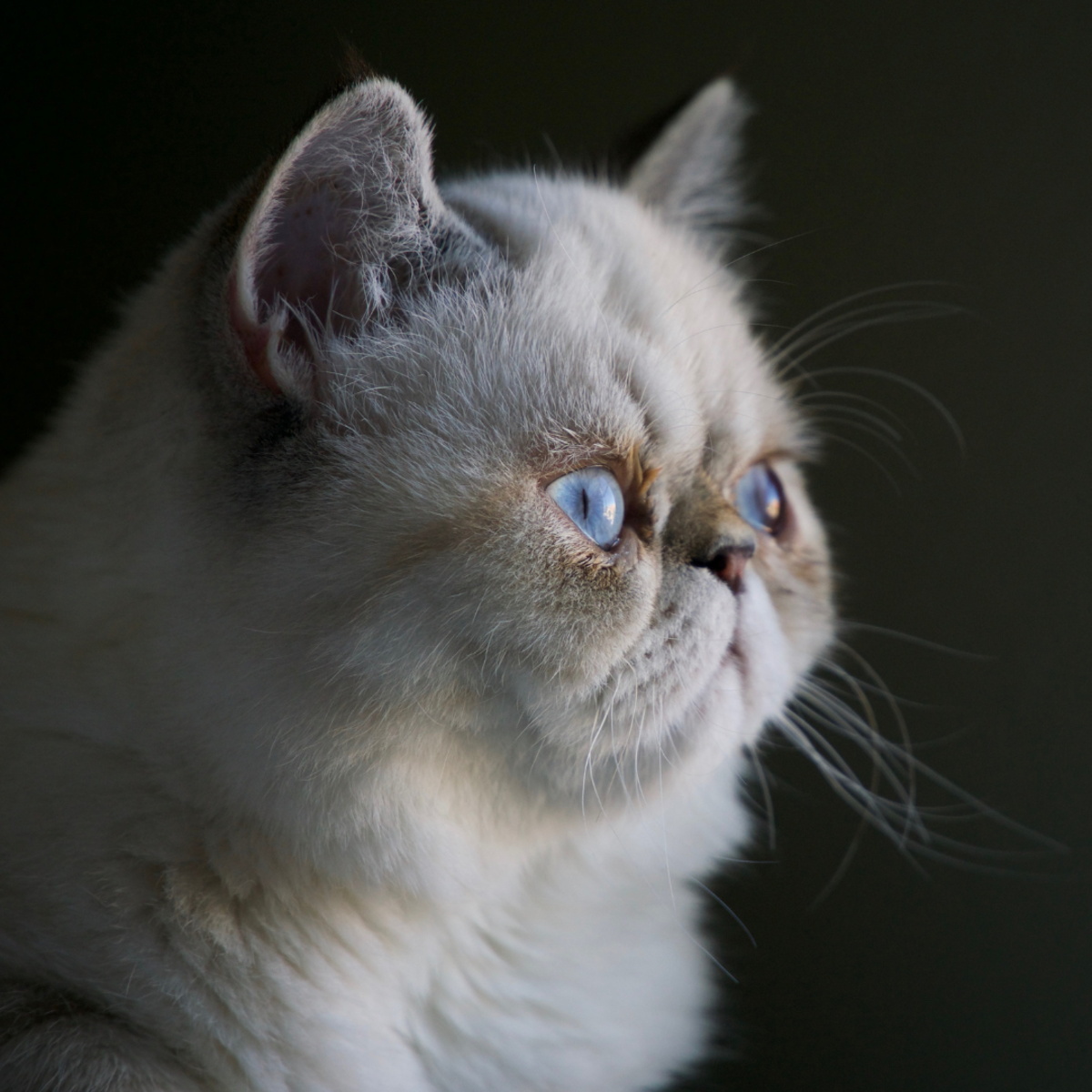 "Your brachycephalic Persian breed with the flat or ""smooshed"" face."