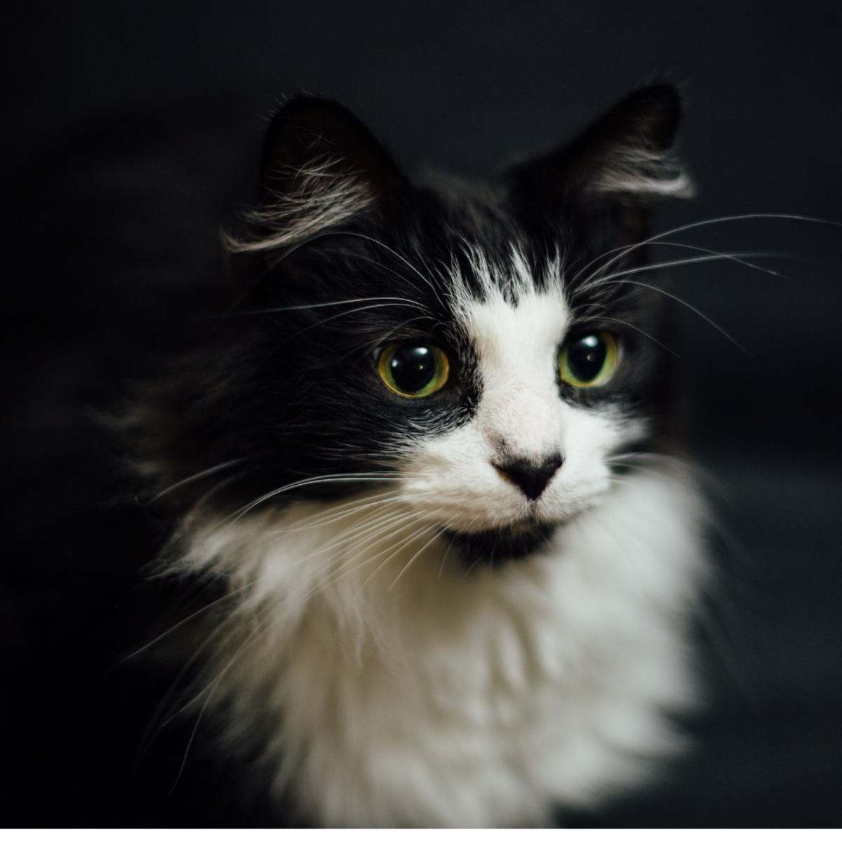 A medium-haired tuxedo cat—not all tuxedos are simply black and white.