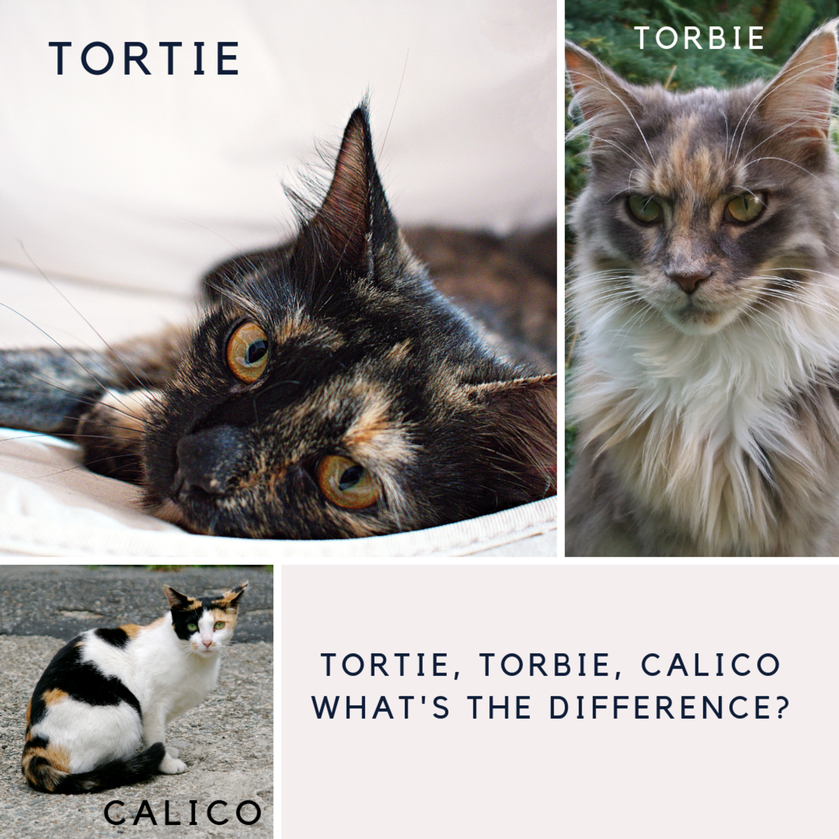 A comparison of a Calico, Torbie, and Tortie.