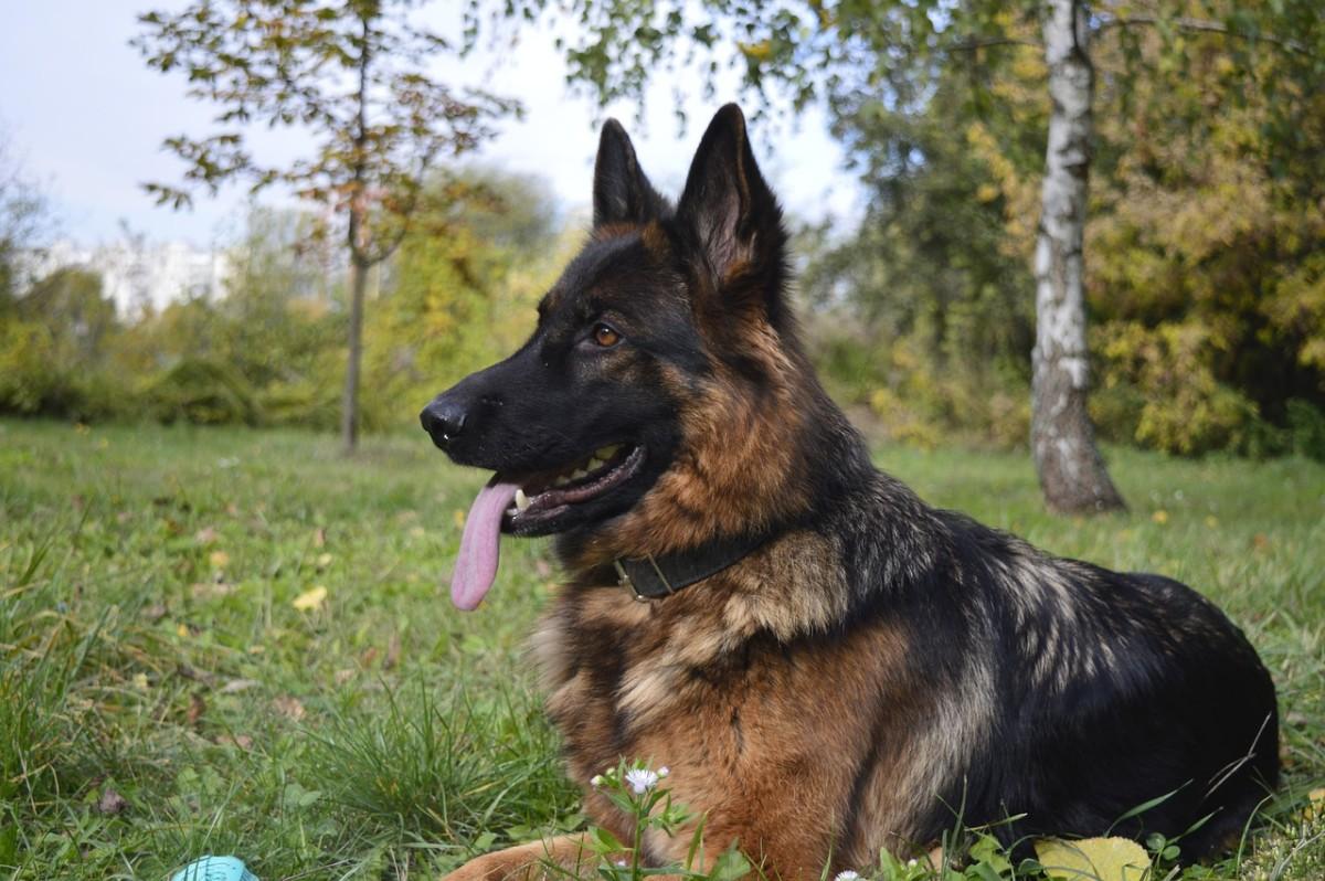 german-shepherd-nail-care