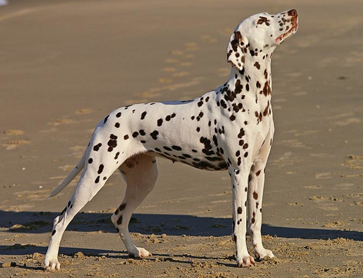 The Dalmation Dog