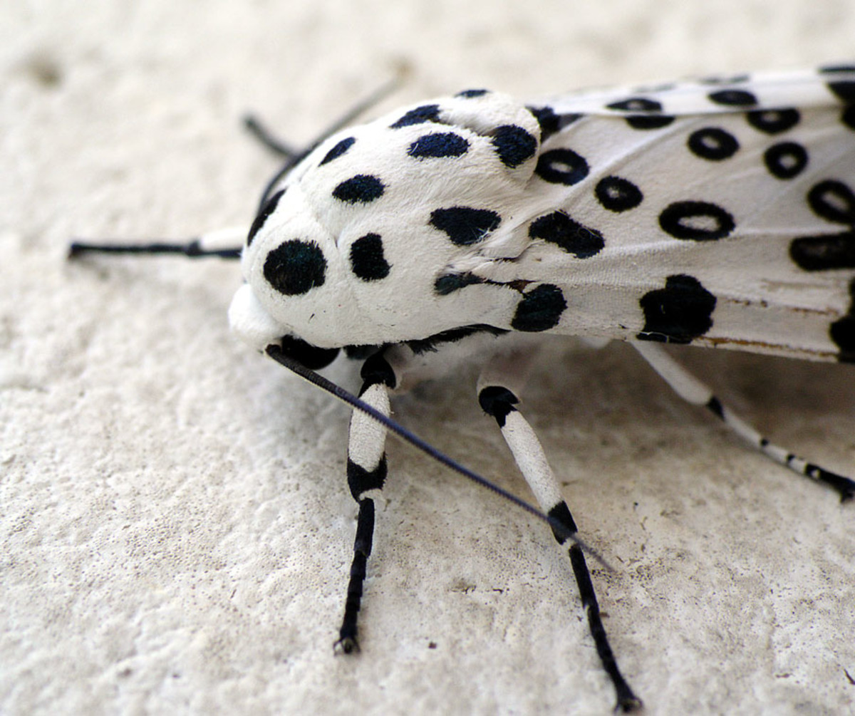 The Giant Leopard Moth