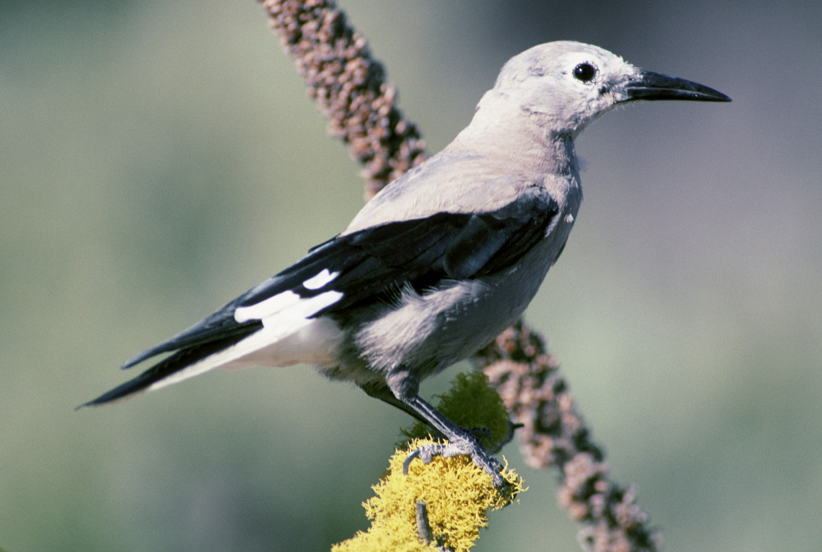 The Clark's Nutcracker