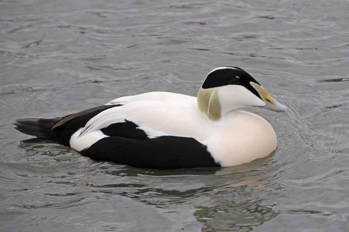 The Eider Duck