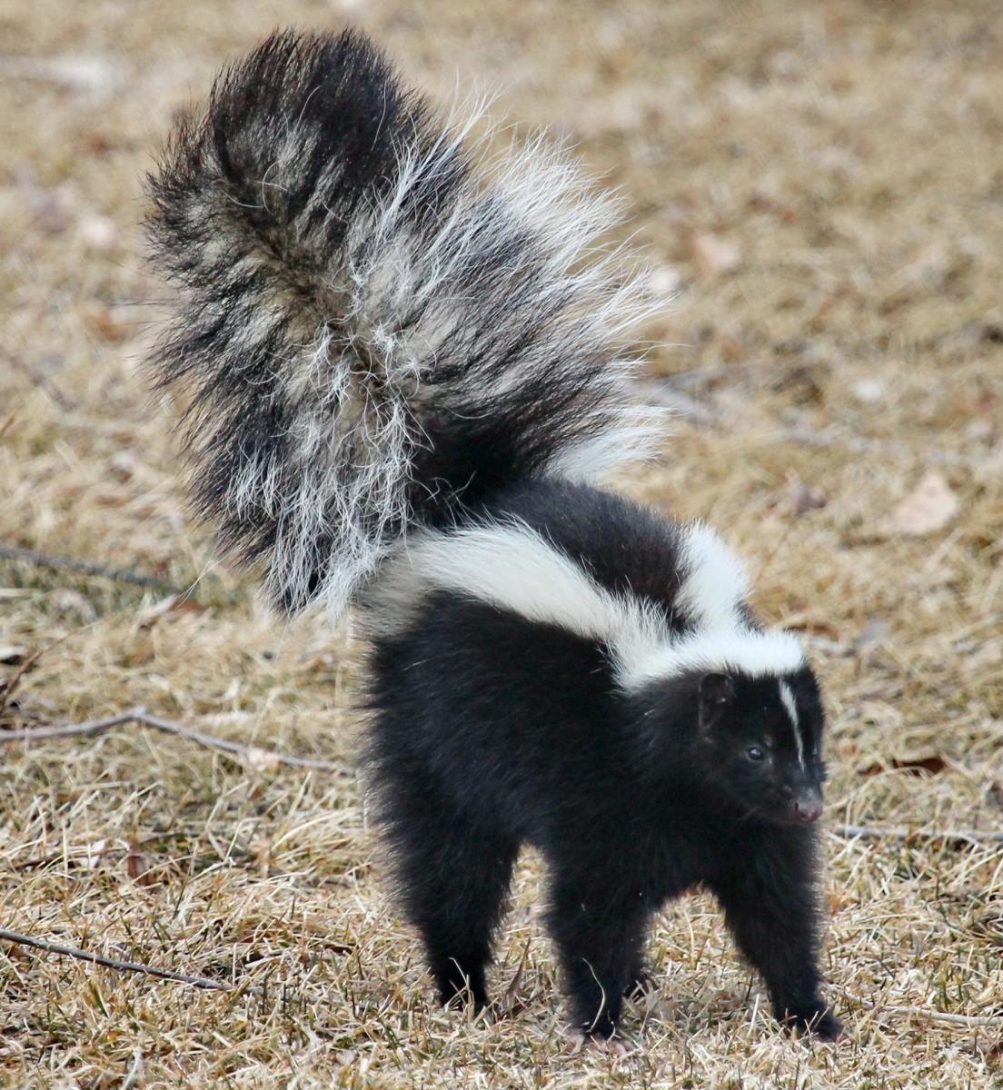 The skunk.