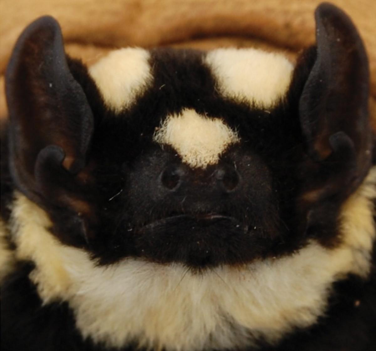 Pied Bat