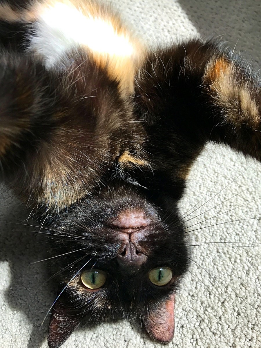 Feisty Ivy, my favorite tortie.