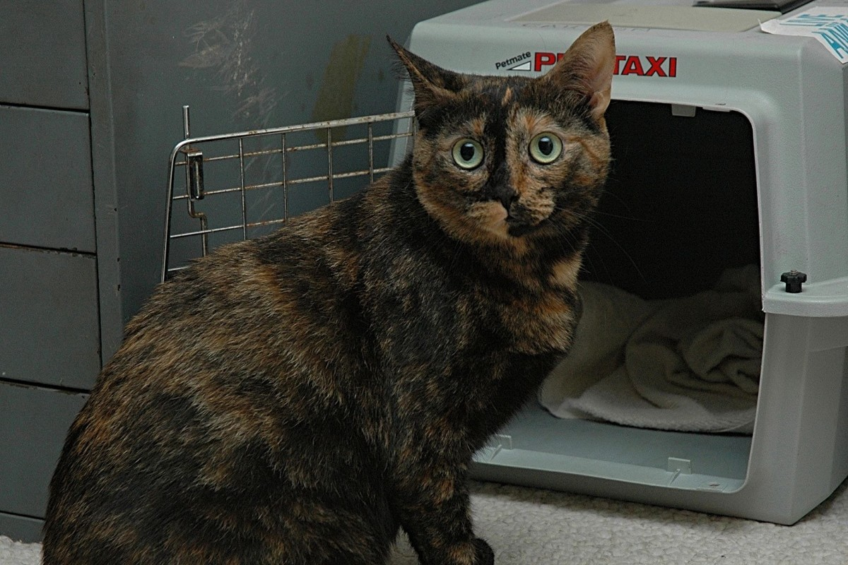 Tortoiseshell cats make great pets.