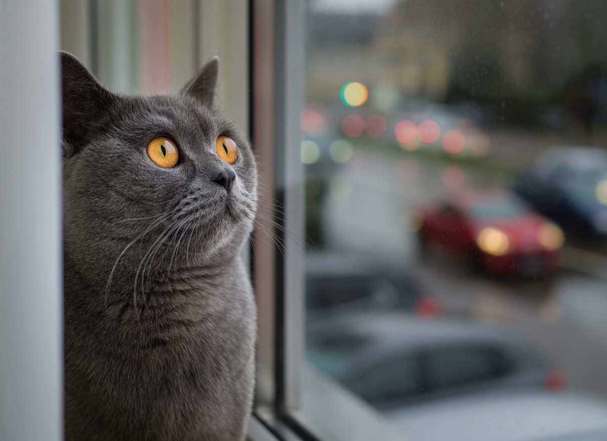 Indoor cats can't bother the neighbors, except by making silly faces at them from the window.