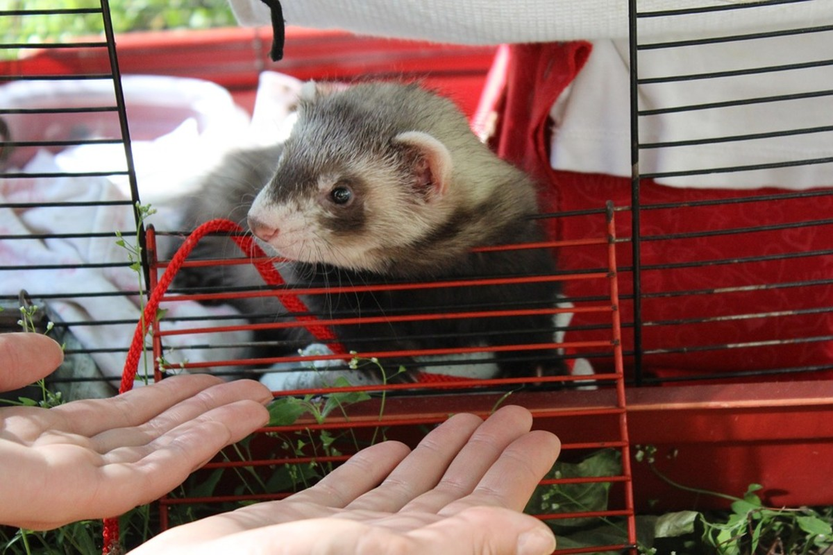 A ferret cannot be left alone for most of the day. They do best with companionship, from both other ferrets and people.