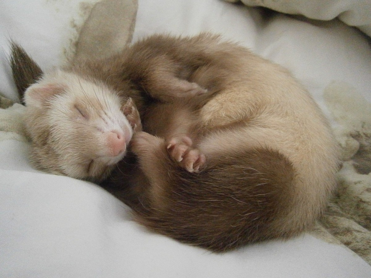 Ferrets are naturally active, but some can get extremely lazy. The owner needs to make sure that they don't sleep too much and get overweight.