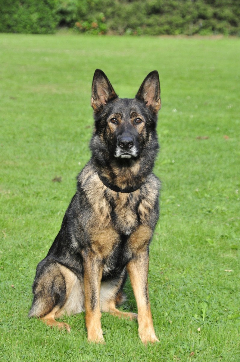 over-a-century-of-german-shepherd-history