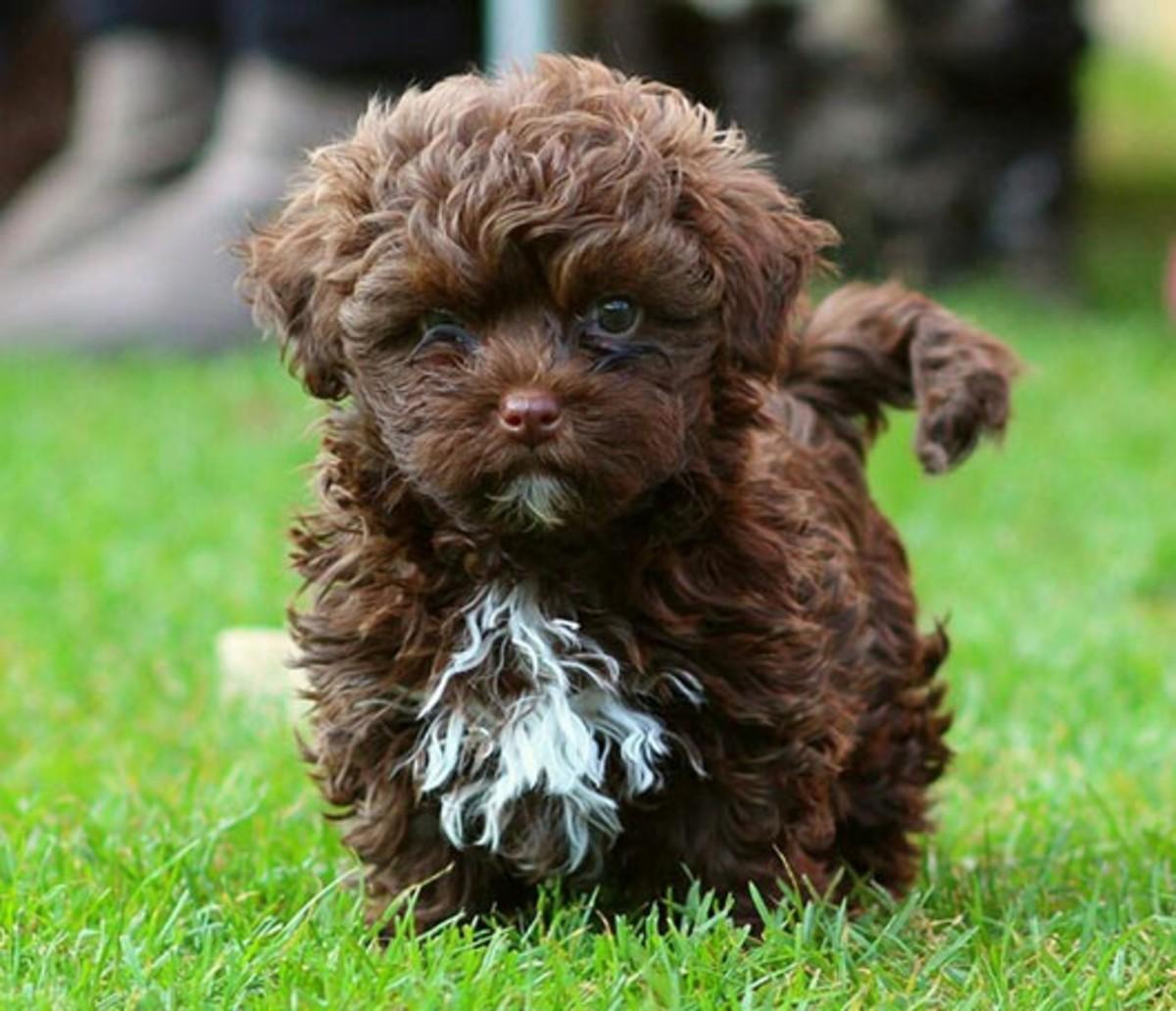 Russian Tsvetnaya Bolonka puppy