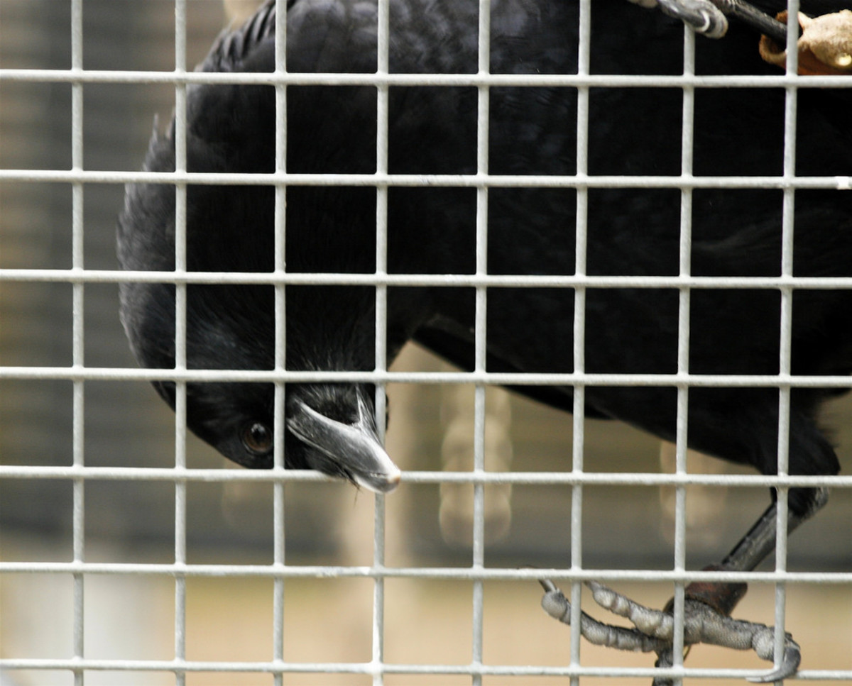 """Crow: """"Let me out! Let me outta here!!!"""""""