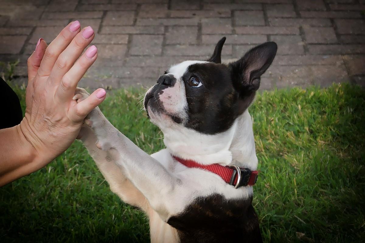 Boston Terriers Make Wonderful Companions