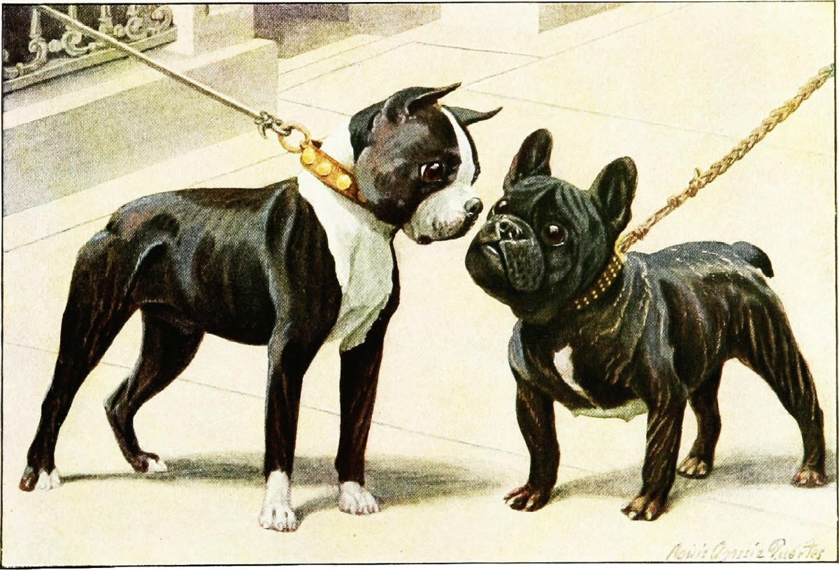The above depiction shows the difference in appearance between a Boston Terrier and a French Bulldog.  Both short-nosed breeds are easily mistaken for each other.