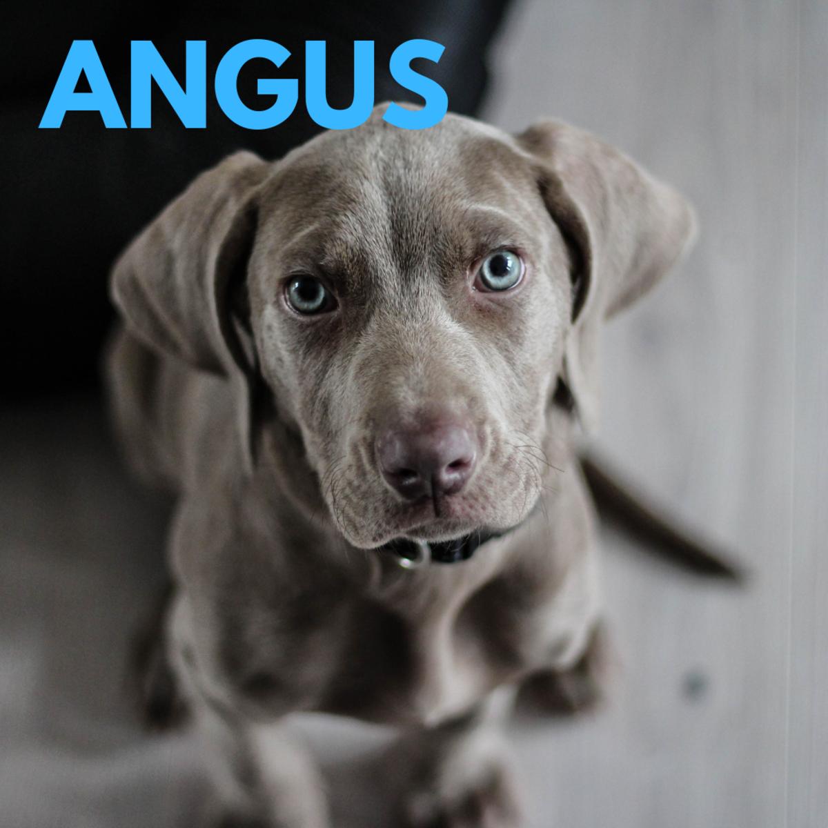 Is he an Angus?