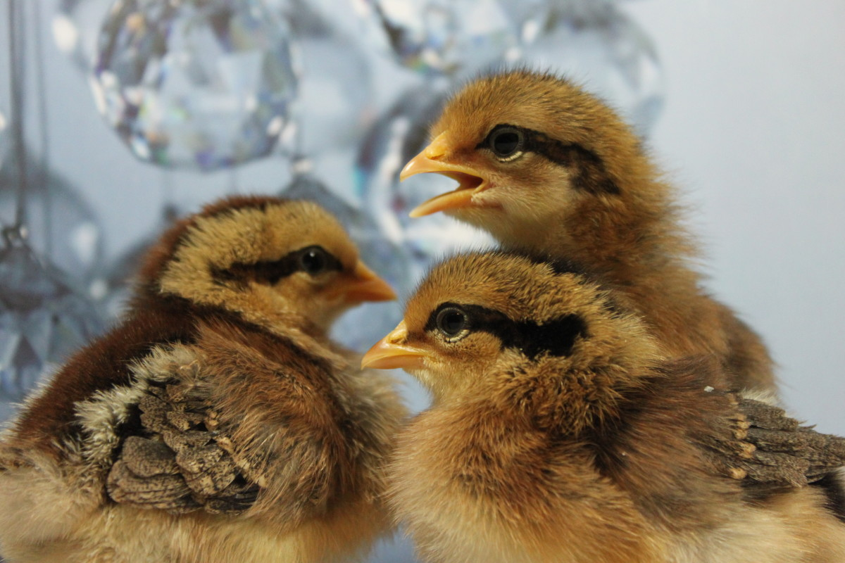 Know your breeds before you buy—not every chicken owner is going to be equipped to handle what these leghorn chicks will dish out.