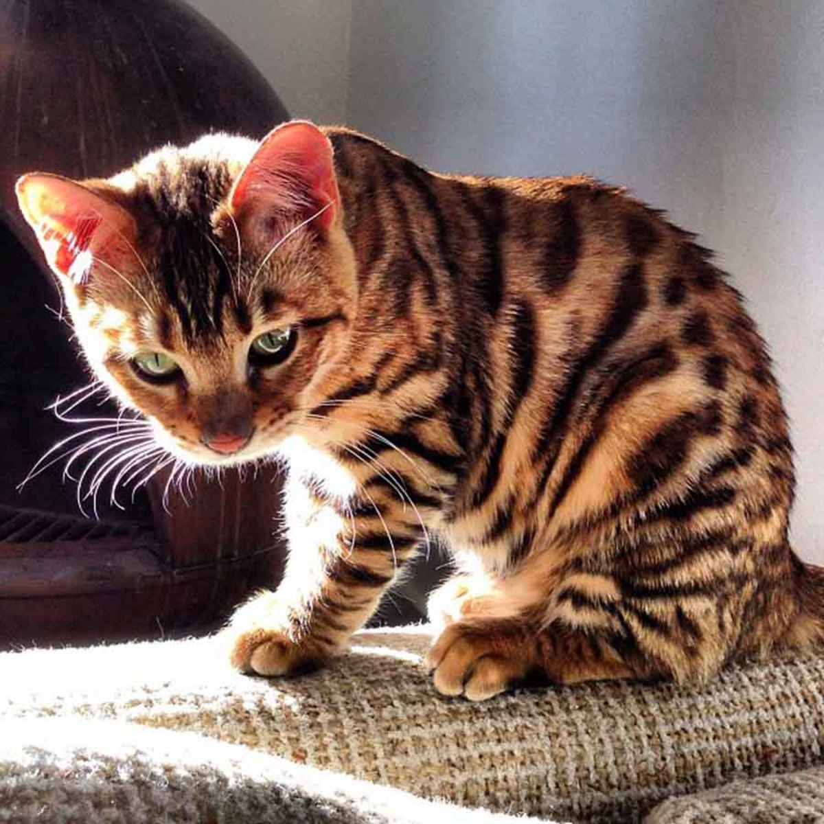 10 Cats That Look Like Tigers, Leopards, and Cheetahs
