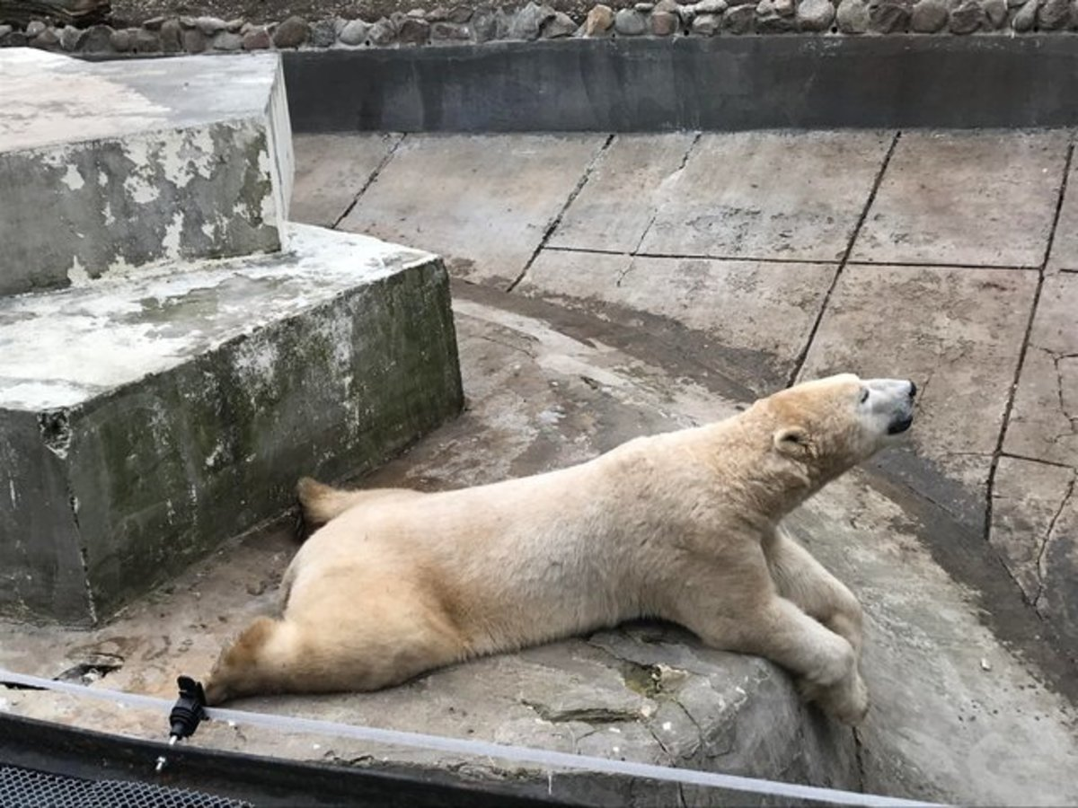 Even polar bears sploot.