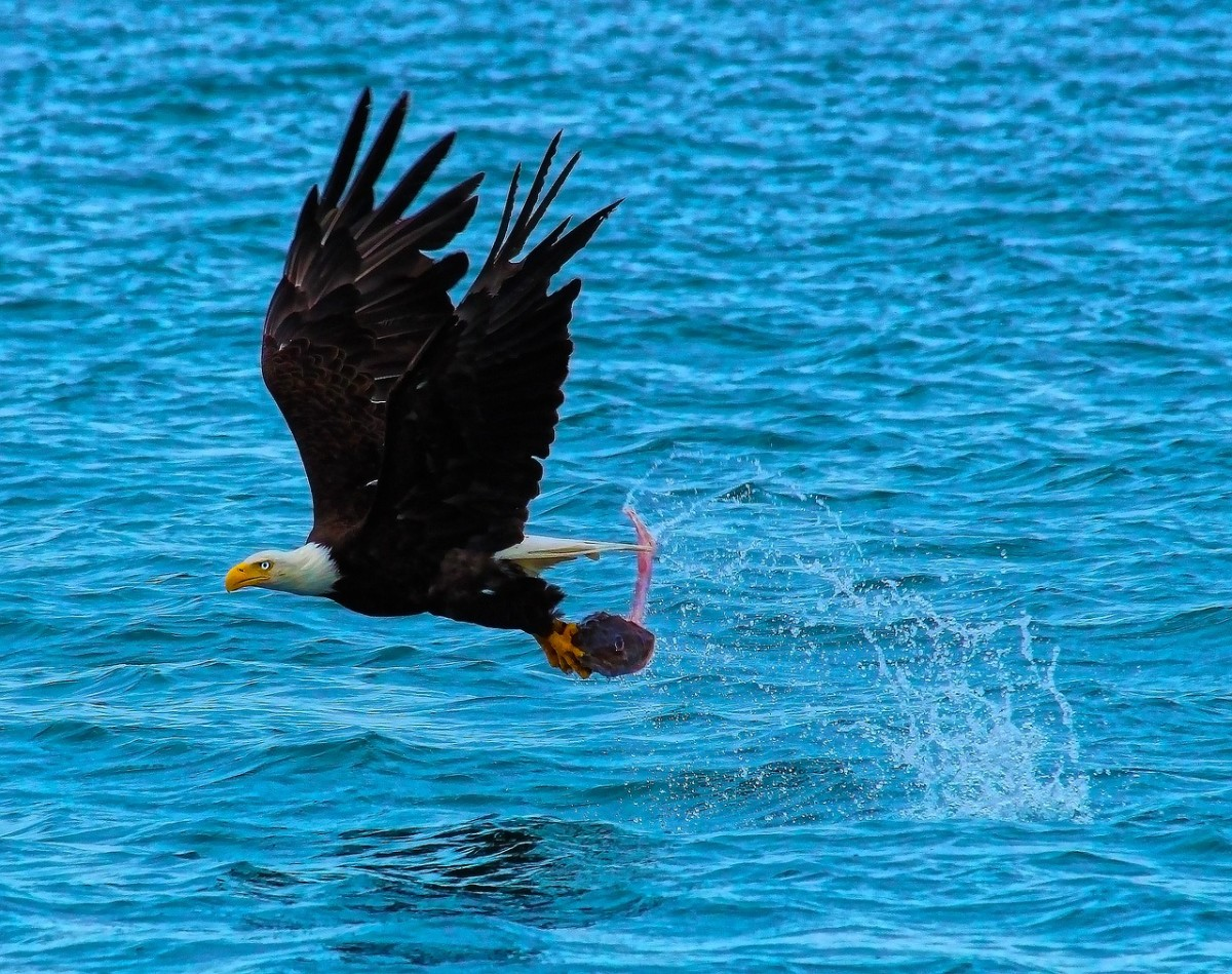 Bald Eagle's Catch