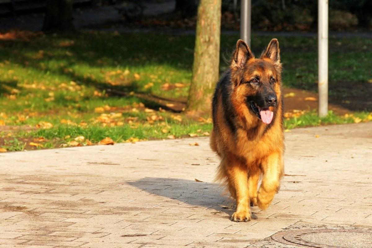 long-coat-german-shepherds