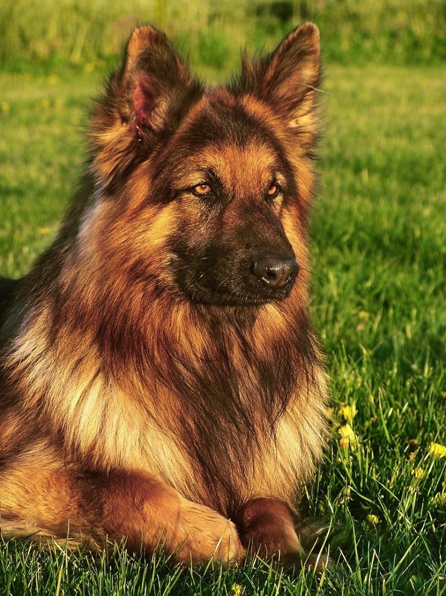 Long Coat German Shepherd Dogs Pethelpful