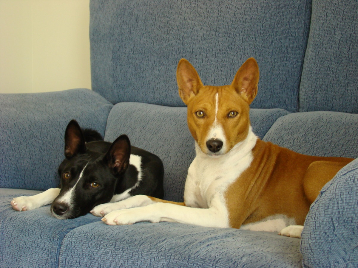 The Basenji is more cat than dog in its manners and nature.