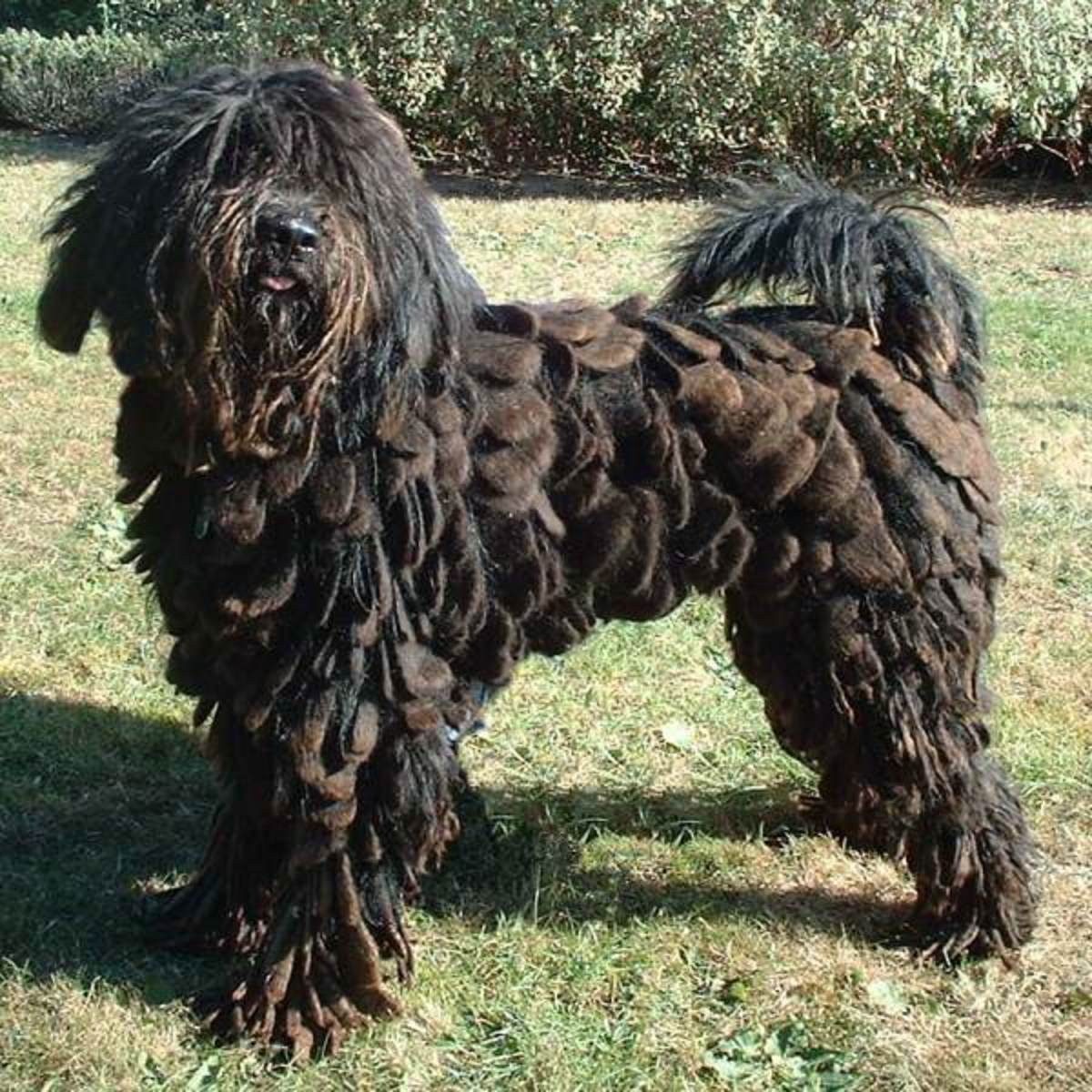 A young Bergamasco