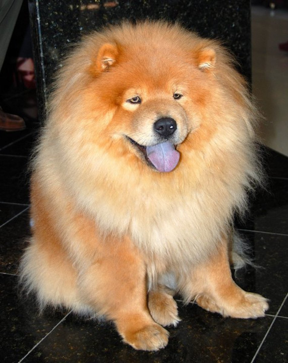 The handsome Chow was bred to look like a Chinese lion.