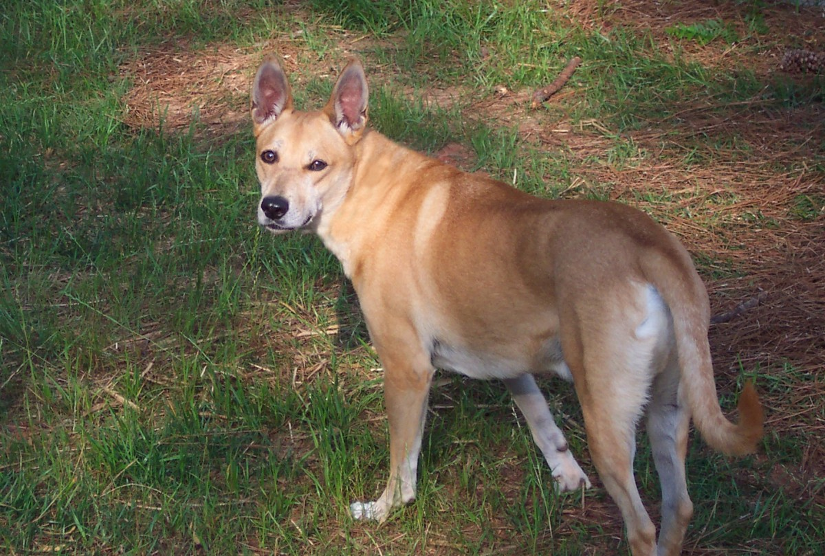 The Carolina Dog does not look extraordinary, until you begin to investigate its DNA