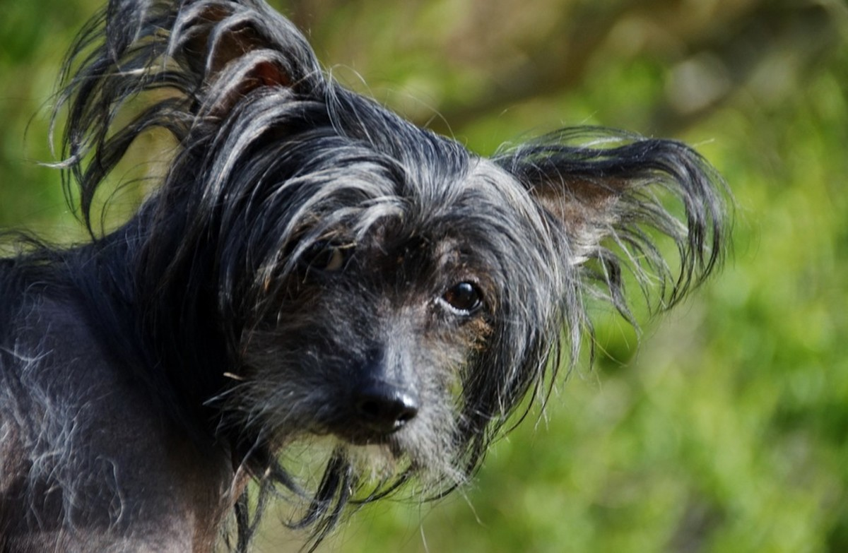 The Chinese Crested is the sort of dog people either admire or detest because of its lack of a fur coat.